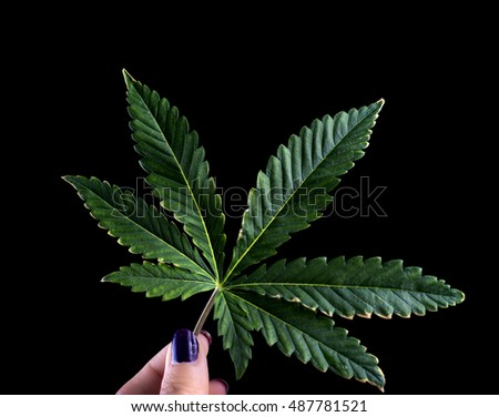 Hand holding single marijuana leaf isolated against black background