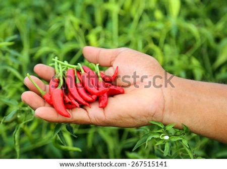 Hand holding some red chili peppers in a vegetable garden - stock photo