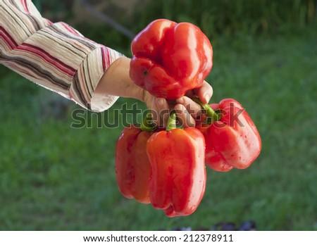 hand holding sweet pepper - stock photo