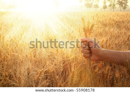 hand holding wheat ears in field - stock photo