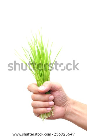 hand holding wheatgrass on white background