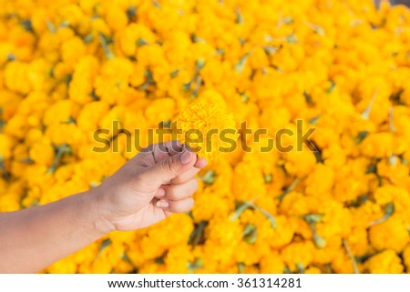 Hand holding yellow marigold flowers and pile of flowers background - stock photo
