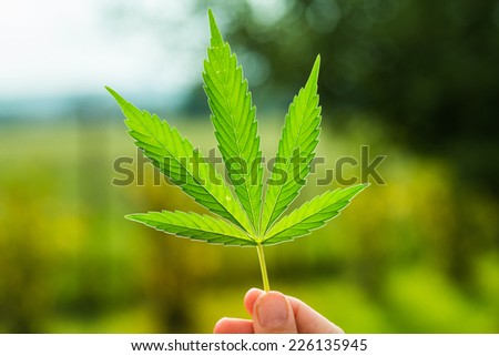 Hand holding Young leaf of marijuana.  - stock photo