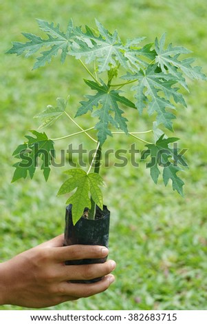 hand holding young plant of a papaya tree.