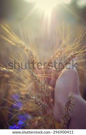 Hand in the field of wheat on sunny day outdoors copy space background, closeup picture - stock photo