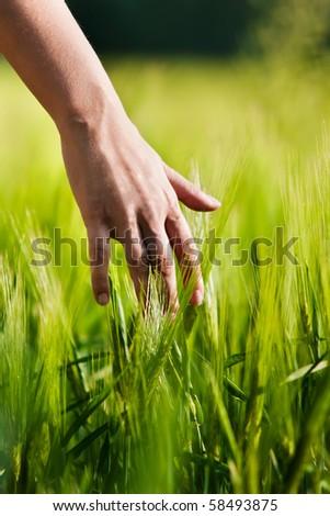 Hand in wheat field. - stock photo