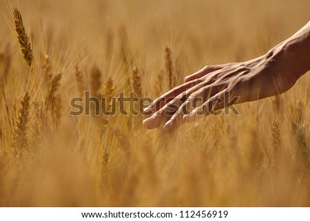 Hand in wheat field. Harvest and gold food agriculture  concept - stock photo