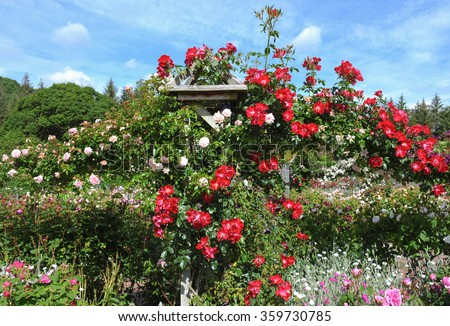 Hand Made Wooden Pergola Covered in Red and Pink Climbing Roses (Rosa) in an English Country Cottage Rose Garden in Devon, England, UK - stock photo