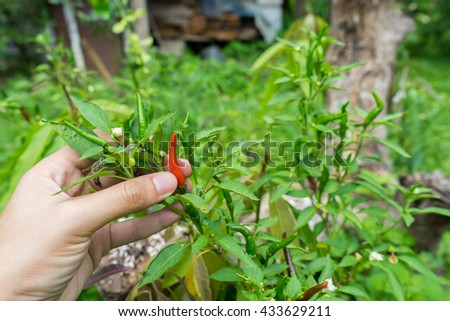 Hand man holding red hot chili peppers on the tree in garden / Red and green chilies growing in a vegetable garden. Ready for harvest / Red chili pepper on the plant / Growing chili peppers. Close up - stock photo
