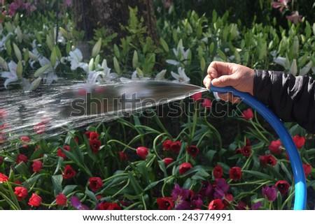 Hand Men are sprinkler watering estimates . - stock photo