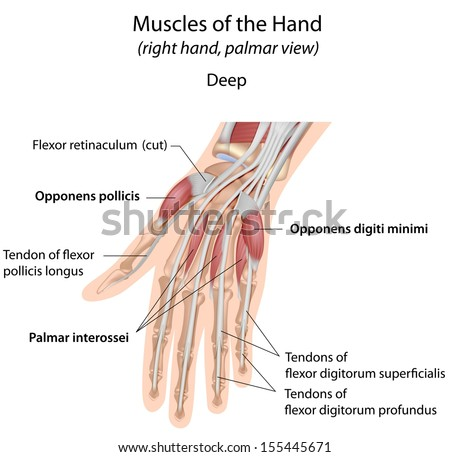 Hand muscles palm deep labeled - stock photo