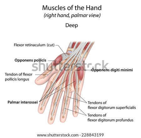 Hand muscles palm view deep layer, labeled - stock photo