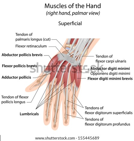Hand muscles palmar aspect superficial labeled - stock photo