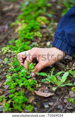 Hand of a farmer woman weeding through a row of parsley - stock photo