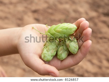 hand of child  with fruits of hop - stock photo