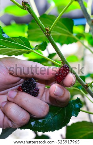 Hand of Farmers picking Mulberry