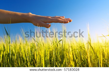 Hand over wheat stems
