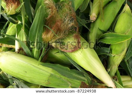 Hand picked organic fresh garden corn ready for sale