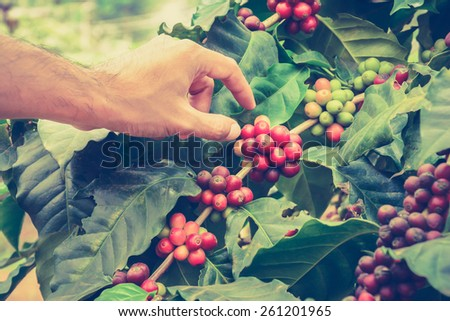 Hand picking coffee beans from branch of coffee plant - vintage style color effect, hand focused - stock photo