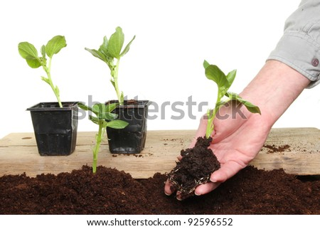Hand planting a seedling broad bean plant into soil