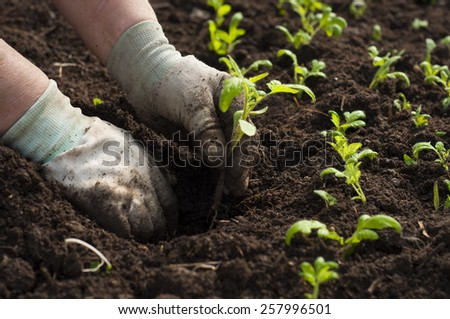 Hand planting a tomato seedling in ground - stock photo