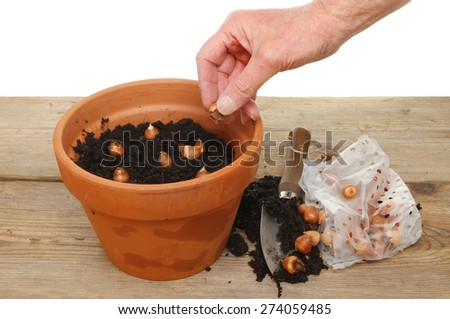 Hand planting bulbs into a pot on a potting bench - stock photo