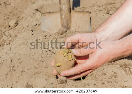 Hand planting potato tuber into the ground. - stock photo