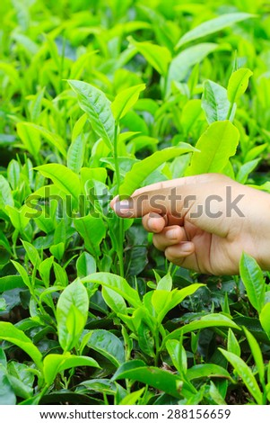 hand put the tea leaf - stock photo