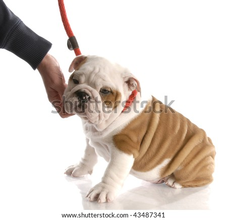 hand reaching down to pet an english bulldog puppy on a leash