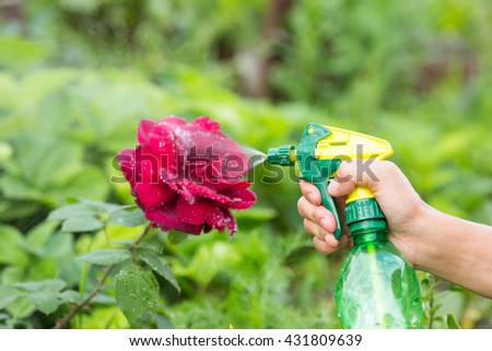 Hand squirting a solution of rose aphid in garden