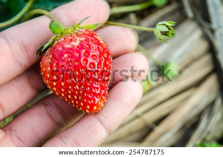 Hand to hold Strawberry on field/farm - stock photo