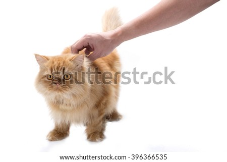 Hand touching suspectful paranoid persian cat, isolated on white background