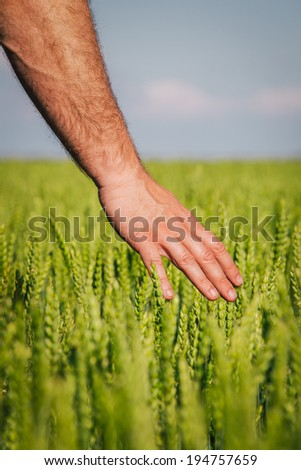 Hand touching the wheat - stock photo