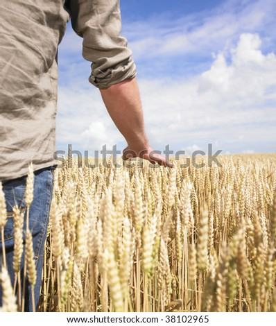 Hand touching top of wheat field - stock photo