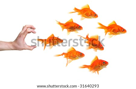 hand trying to catch a group of goldfish isolated on white background - stock photo