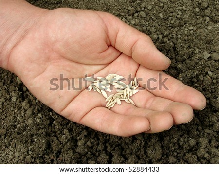 hand with cucumber seeds above the cultivated ground