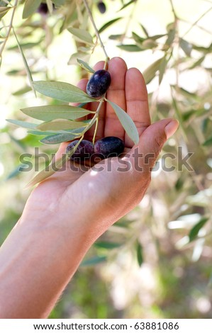 hand with olive branch -mano con ramo olive - stock photo