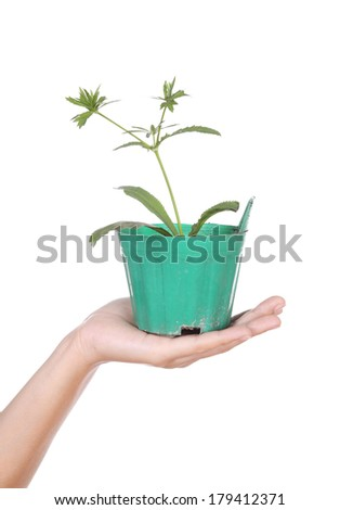 hand with young seedlings of parsley in small pot on white background - stock photo