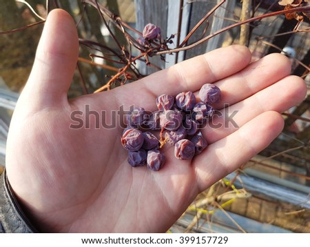 Handful of dried purple grapes, at a wine garden
