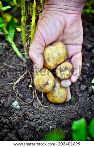 Handful of fresh harvested potatoes - stock photo
