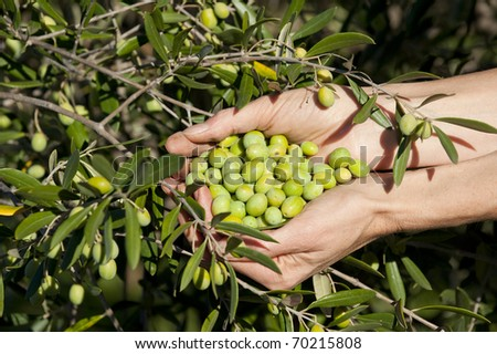 Handful of freshly-harvested olives, next to tree - stock photo