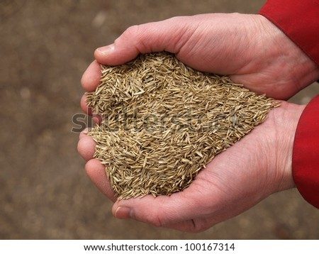 Handful of grass seeds ready for planting, closeup
