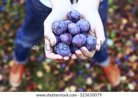 handful of ripe blue plums on the autumn garden background - stock photo