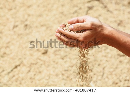 Handful of rough unmilled rice grains in human hands on background of drying crop of ripe raw rice. Agriculture, asian cereal plants, food producing and export farm nutrition ingredients in Indonesia - stock photo