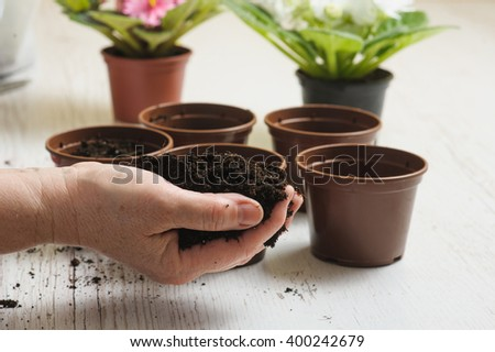 Handful of soil in old female hand. Old woman's hand planting home plants indoors.  Several brown empty flower pot, heap of soil, light wooden background. Blooming violet. Earth Day. - stock photo