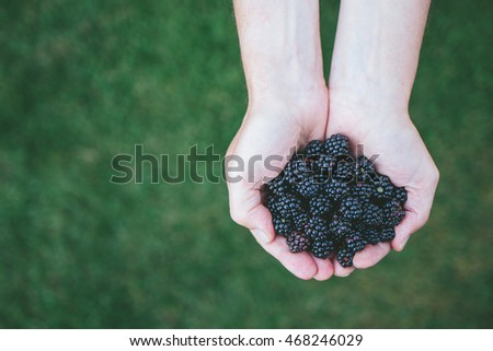 Handful of wild blackberries foraged from the forest