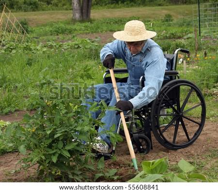 handicapped farmer in a wheelchair weeding a garden - stock photo
