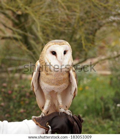 Handler holds out his leather glove for the barn owl to land