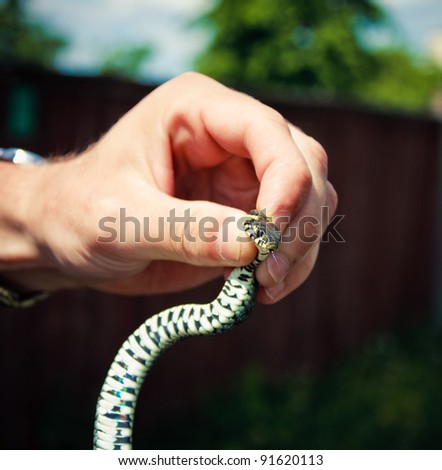 Handling of a grass snake (Natrix natrix) being demonstrated - stock photo