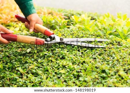 Hands cuts green bush with scissors  - stock photo